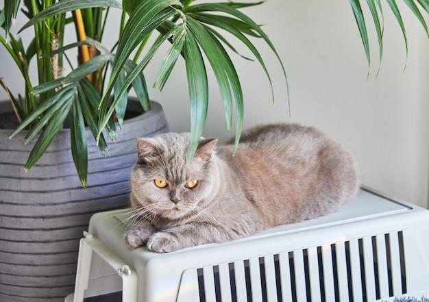 회색 색상의 순종 영국 고양이는 캐리어에 야자수가있는 cad 아래에 앉아 있습니다.