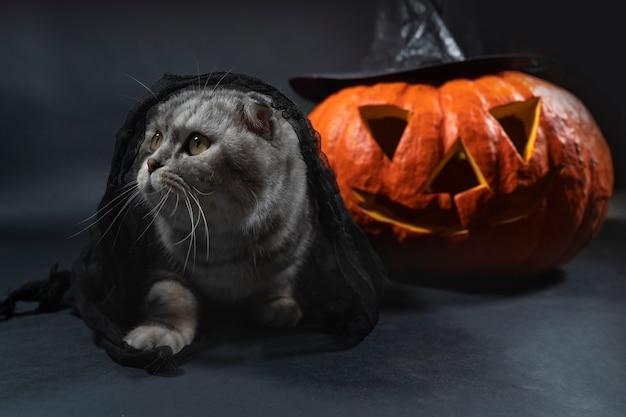 ジャック・オー・ランタンを背景に、黒いベールをかぶった純血種のスコティッシュフォールド猫が座っています。