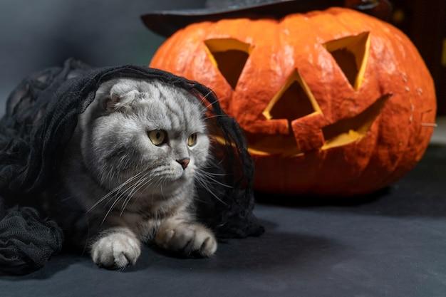 검은 베일에 순종 순종 스코틀랜드 폴드 고양이가 잭 오 랜턴의 배경에 앉아 있습니다.