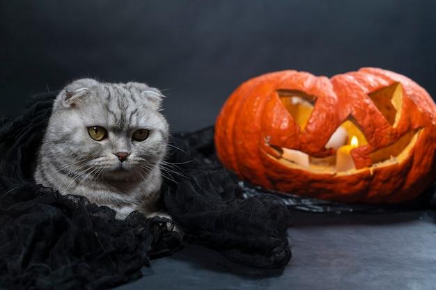 검은 베일에 순종 스코틀랜드 폴드 고양이가 호박 근처에 앉아있다.