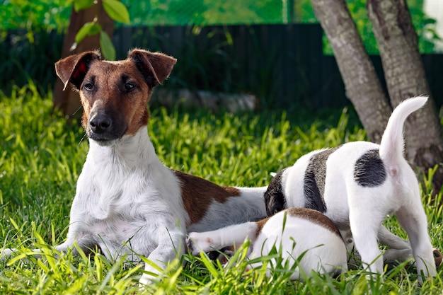 純血種の滑らかな髪のフォックステリアは、空腹の子犬に餌をやる