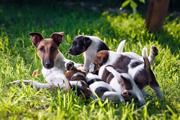 純血種の滑らかな髪のフォックステリアは、子犬に餌を与えます。緑の芝生の上に屋外の公園で家族の犬。猟犬。