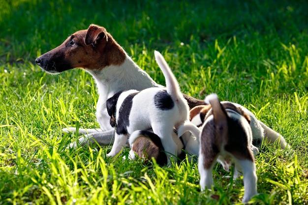 純血種の滑らかな髪のフォックステリアが子犬に餌をやる