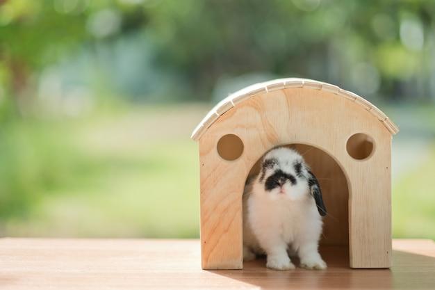 家の中のウサギ、ウサギのペット、オランダの垂れ