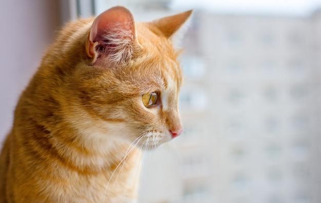 Рыжий кот смотрит в окно.