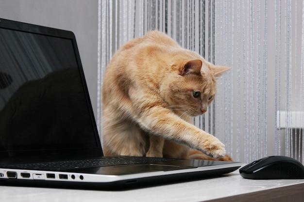 빨간 고양이가 노트북 근처에 앉아 발로 컴퓨터 마우스에 손을 뻗고 있습니다.