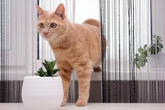 창턱에서 실 커튼을 통과하는 빨간 고양이