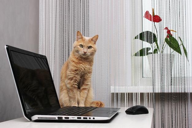 홈 인테리어에 노트북 근처 빨간 고양이. 직장. 창턱에 국화 꽃. 내부에 커튼을 실으십시오. 애완 동물 및 가정 식물.