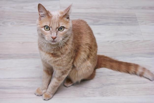 바닥에 앉아 정면을 똑바로 바라보고있는 빨간 고양이.