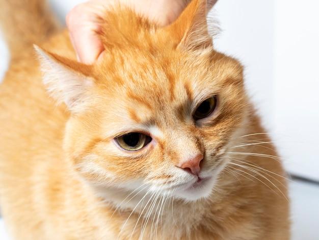 Рыжий кот, которого схватили рукой за шкирку. портрет животного, наказание за проступок. жестокое обращение с животными