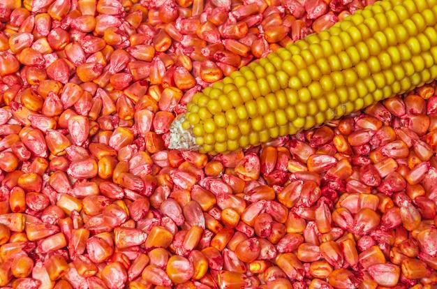 예를 들어 심기 및 태아를 위해 가공된 붉은 옥수수 종자