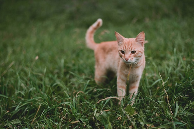 赤い飼い猫が緑の芝生の上を歩きます。自然の中で赤い猫。猫の散歩