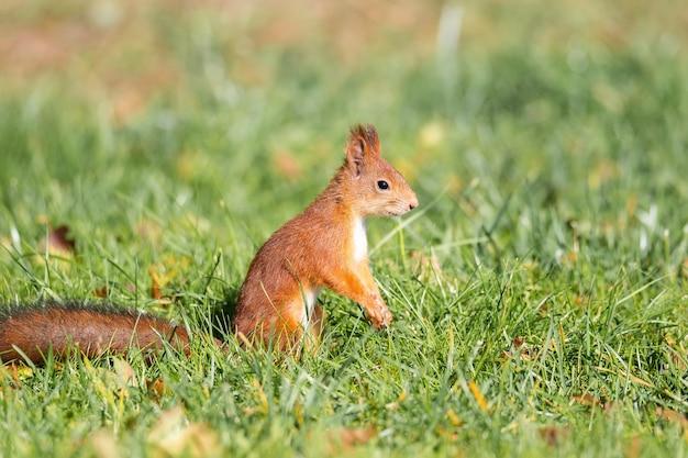 Рыжая пушистая белка стоит на задних лапах на зеленой сочной молодой траве с желтыми осенними листьями и в солнечную светлую погоду смотрит в сторону крупным планом. портрет дикого животного