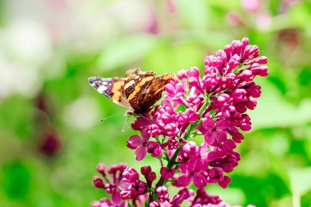 Рыжая бабочка летом сидит на лиловой ветке сирени.
