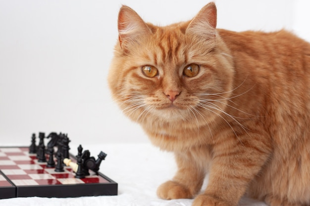 빨간 머리 주황색 고양이는 흰색 배경 클로즈업에 체스 판 옆에 앉아 있습니다.