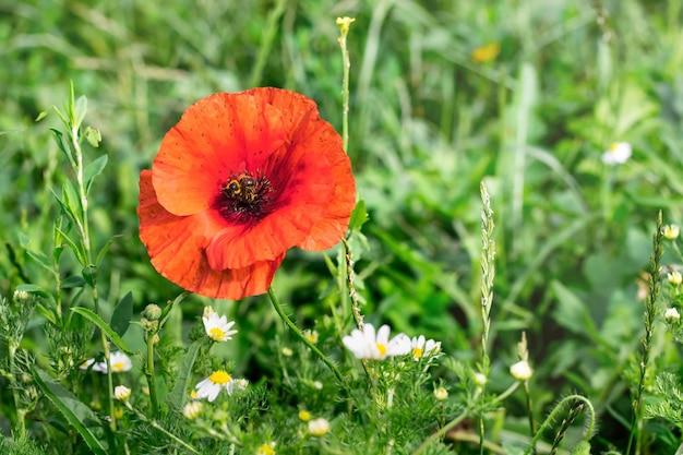 緑の草の間の野原にある赤いポピーの花