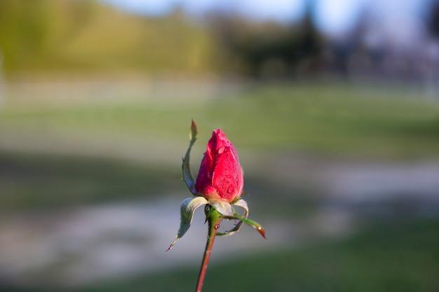 雨上がりの庭の赤いバラのつぼみ。抽象的な青い背景、テキストの場所、はがきの茎に若いピンクのつぼみ