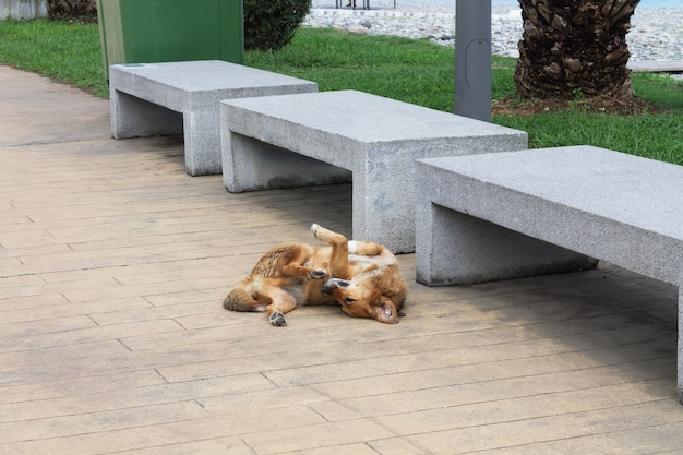 ブランドを耳にした赤い野良犬がバトゥミの堤防で眠っています。ジョージア。動物の世話の概念。