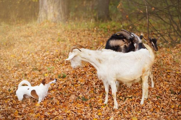 赤と白の犬が山羊と一緒に秋の公園を歩く