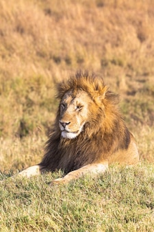 Отдыхающий лев масаи мара кения