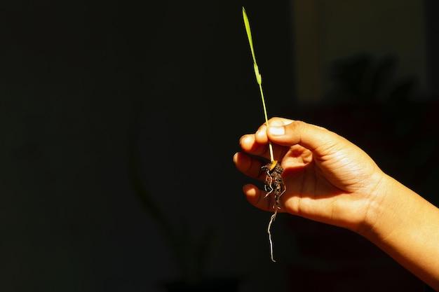 어두운 배경을 가진 아이의 손에 벼 모종