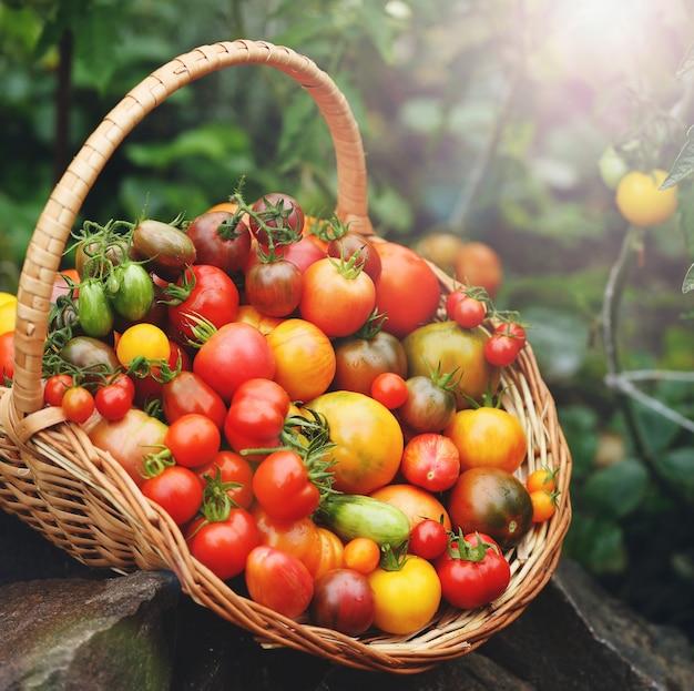 日光が当たる籐のかごの中のさまざまな種類のトマトの豊作