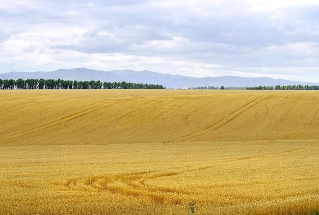 曇り空の下の丘や山々、農業機械の痕跡を背景にした波状の草原地帯での熟した穀物。シベリア、ロシア
