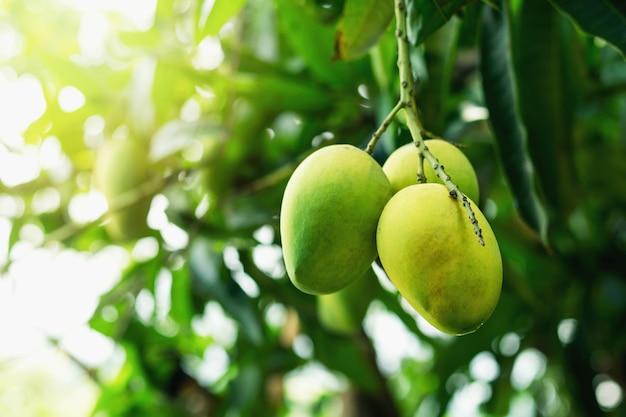 美しい色とりどりの庭にある熟したマンゴー。