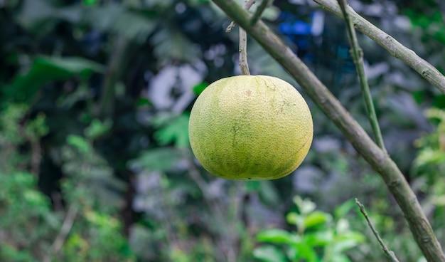 정원에 가까이 있는 나무에 있는 익은 포멜로 과일