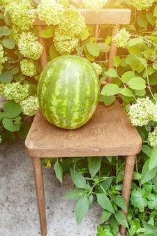 녹색 수국의 무성한 덤불 근처 의자에 익은 전체 수박