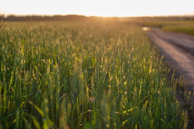 Дорога посреди поля с пшеницей ведет к солнцу. колосья пшеницы или ржи, растущие в поле на закате. поле ржи во время сбора урожая на сельскохозяйственном поле.