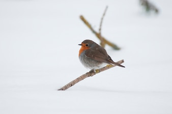 A robbin in the snow