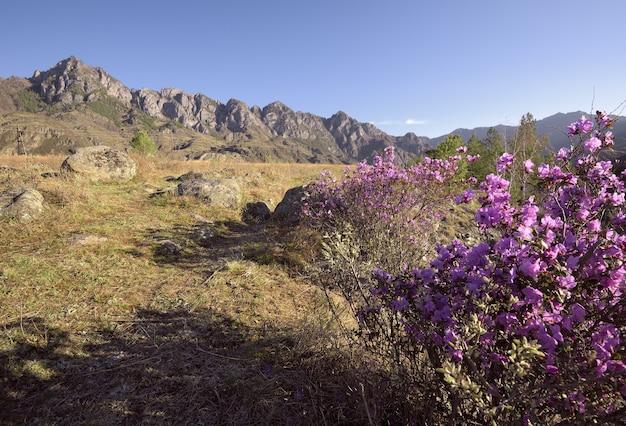 Куст роз, цветущий из маральника в горной долине, залитой утренним золотым светом.