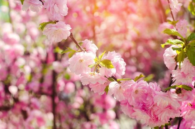 バラのブッシュが春にピンクの花で咲きます。自然の壁紙