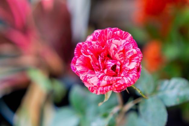 Роза - древесное многолетнее цветущее растение из рода rosa в семействе rosaceae.