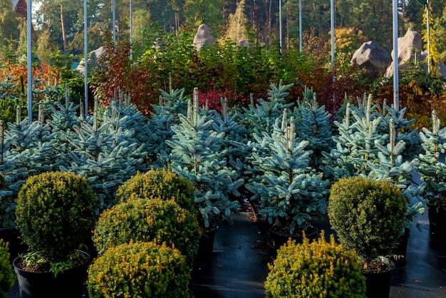 植物を売る園芸用品センターの青いもみの列鉢植えのさまざまな木の苗