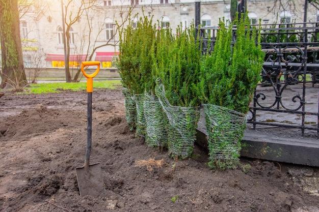 가을에 도시 공원에 심어진 침엽수 스프루스 나무의 행.