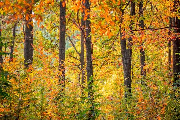 色とりどりの黄色、オレンジ、赤の葉を持つ秋の森の木々の列
