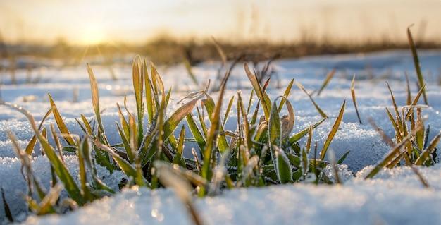봄의 겨울 밀 한 줄은 눈 아래에서 볼 수 있습니다. 아침 일출.
