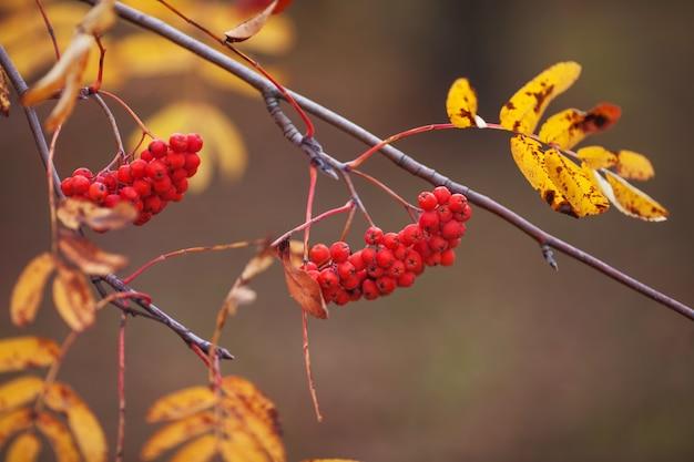 赤い果実と黄色の葉を持つナナカマドの枝がクローズアップ。秋の時間
