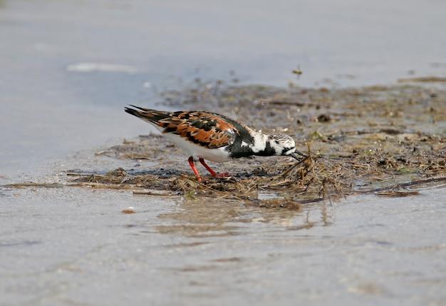 河口の水の中のキョウジョシギ(arenariainterpres)の鳥。