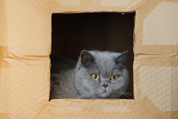 Грустный британский кот сидит в одиночестве в картонной коробке, серый кот смотрит в окно концепции дома ...