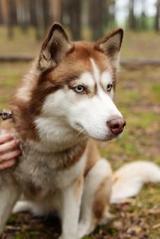 가죽 끈에 슬픈 개. 허스키가 숲을 걷는다. 숲에서 허스키와 함께 산책. 자연 속에서 강아지와 함께 산책.