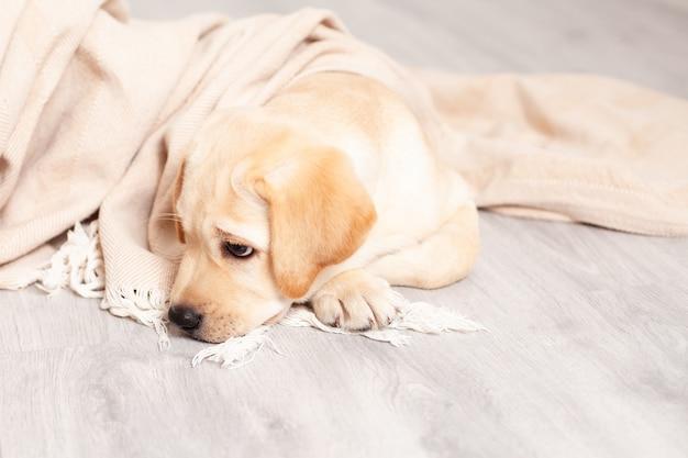 슬픈 래브라도 강아지가 집 담요 아래 바닥에 누워 있습니다. 병. 수의사. 개. 펫 케어. 고품질 사진