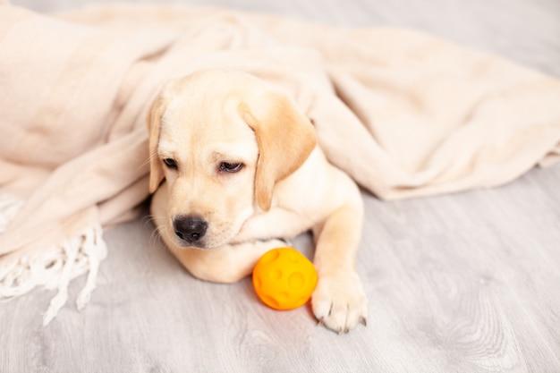 Грустный щенок лабрадора лежит на полу под одеялом в доме. болезнь. ветеринарный. собака. забота о животных. фото высокого качества