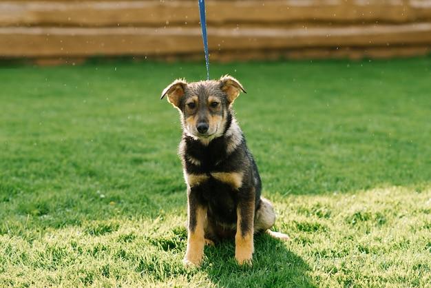 Грустная собака смешанной породы грустно выглядит после дождя и сидит на зеленой траве на поводке
