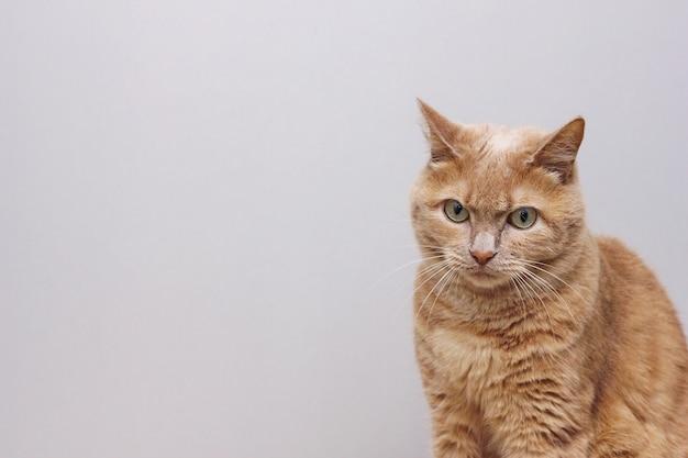 Сидит грустный рыжий кот, нахмурив лоб. рыжая кошка сидит с нахмуренной бровью на сером фоне.