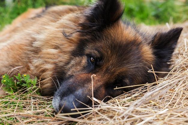 悲しい病気の犬が干し草の中に横たわっています。ジャーマンシェパード犬。