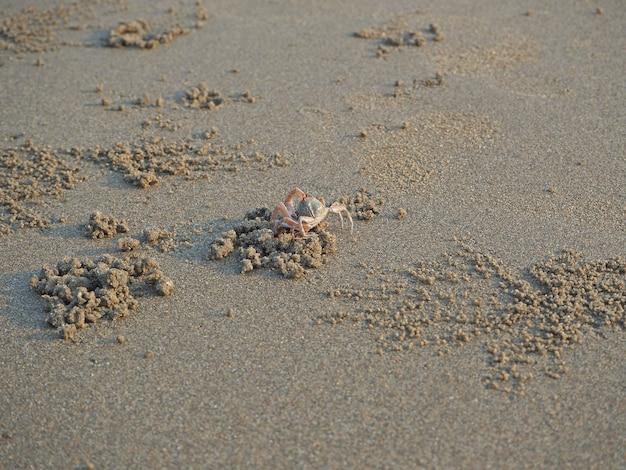 모래 게가 모래 사장을 따라 달려가 구멍을 뚫습니다.