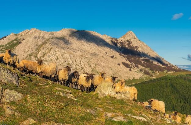 Сцена стада овец на закате с горой анбото в конце